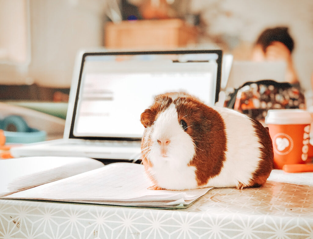 A laptop sits behind an open notebook and a a brown and white guinea pig is sitting on the open notebook